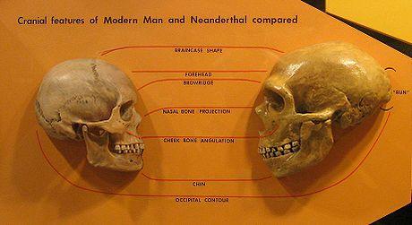 Resultado de imagen para homo sapiens neandertal craneos